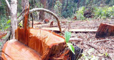 Gỗ Bình linh là gì? Thuộc nhóm mấy trong bảng phân loại gỗ Việt Nam?